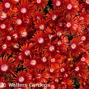 DELOSPERMA RED MOUNTAIN FLAME