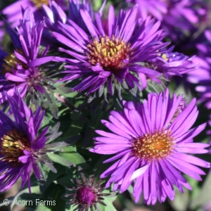ASTER NOV PURPLE DOME