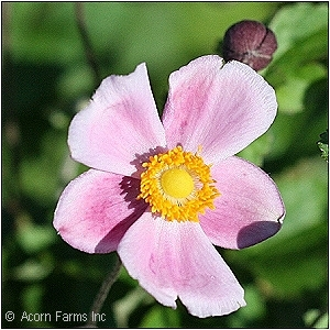 ANEMONE TOM ROBUSTISSIMA