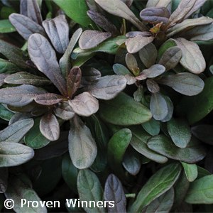 AJUGA CHOCOLATE CHIP