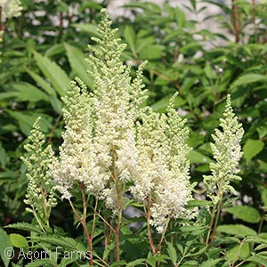 ASTILBE ARE WEISSE GLORIA