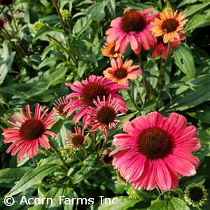 ECHINACEA PLAYFUL MEADOW MAMA