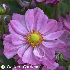 ANEMONE CURTAIN CALL PINK