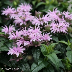 MONARDA COTTON CANDY