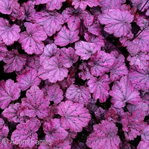 HEUCHERA ELECTRIC PLUM