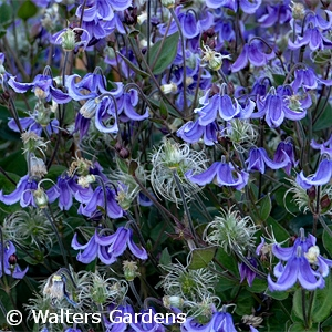CLEMATIS STAND BY ME