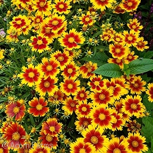 COREOPSIS GOLD AND BRONZE
