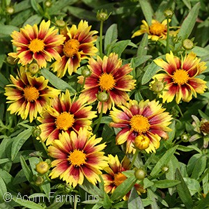 COREOPSIS ENCHANTED EVE