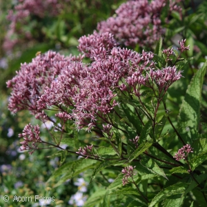 EUPATORIUM DUB LITTLE JOE