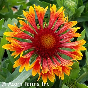 GAILLARDIA SPINTOP COPPER SUN