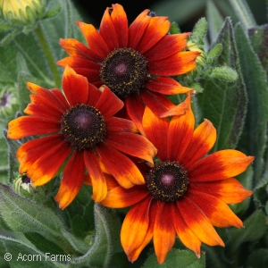ECHIBECKIA SUMMERINA BROWN