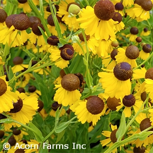 HELENIUM FLE TINY DANCER