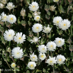 DELOSPERMA JEWEL MOONSTONE