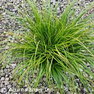 Carex pensylvanica - Pennsylvania Sedge - Pennsyvania native grass