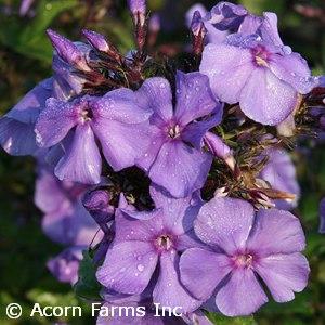 PHLOX PAN BLUE PARADISE