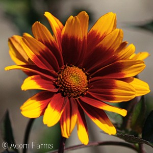 HELIOPSIS SCA BURNING HEARTS