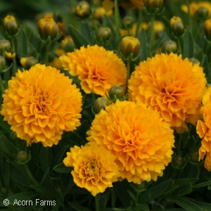 COREOPSIS GOLDEN SPHERE