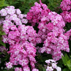 PHLOX PAN RED SHADES