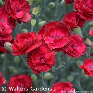 DIANTHUS ELECTRIC RED