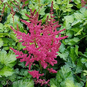 ASTILBE CHI LIGHTHOUSE