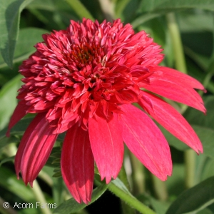 ECHINACEA DBL SCOOP CRANBERRY