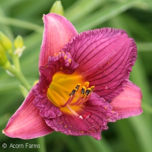 HEMEROCALLIS PURPLE DE ORO