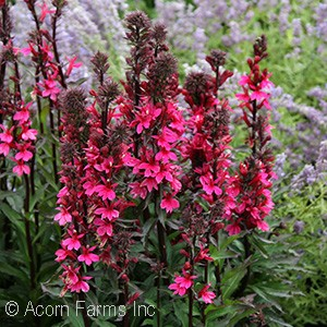 LOBELIA SPE STARSHIP DEEP ROSE