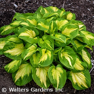 HOSTA ETCHED GLASS