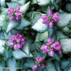 LAMIUM MAC PURPLE DRAGON