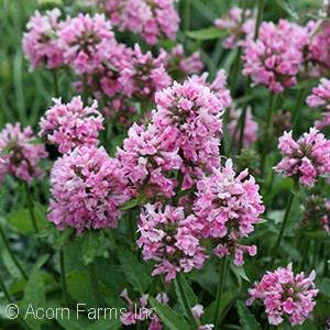 STACHYS PINK COTTON CANDY