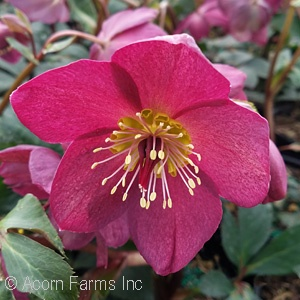 HELLEBORUS ICE N ROSES RED