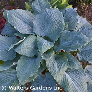 HOSTA DIAMOND LAKE