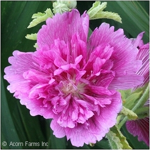 ALCEA QUEENY PURPLE
