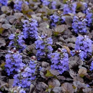 AJUGA REP BLACK SCALLOP