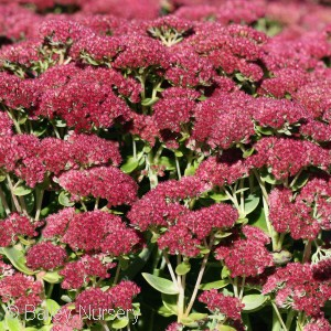 SEDUM SPE AUTUMN FIRE