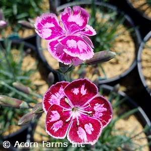 DIANTHUS FIRE AND ICE