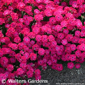 DIANTHUS PAINT THE TOWN RED
