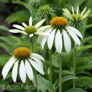 ECHINACEA HAPPY STAR