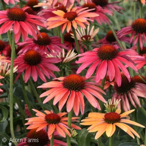 ECHINACEA HOT SUMMER