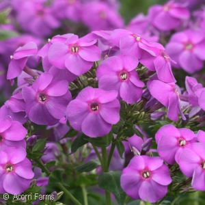 PHLOX PAN EARLY START VELVET