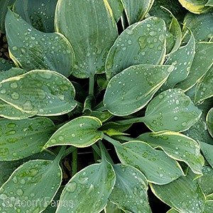 HOSTA FROSTED DIMPLES