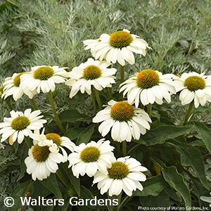 ECHINACEA THE PRICE IS WHITE