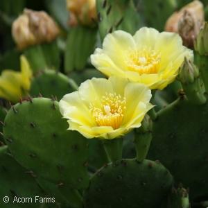 Opuntia - Prickly Pear - Pennsylvania Native Plant