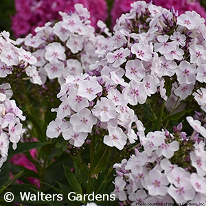 PHLOX PAN PARTY GIRL