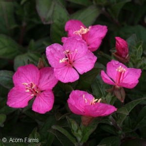 OENOTHERA GLOWING MAGENTA