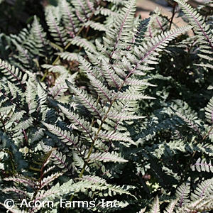 ATHYRIUM NIP RED BEAUTY