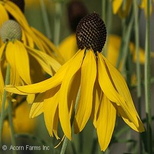 Ratibida - Yellow Coneflower - Pennsyvania native plant