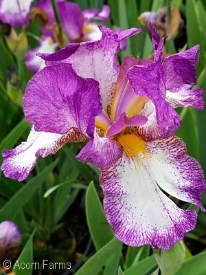 IRIS GER AUTUMN ENCORE