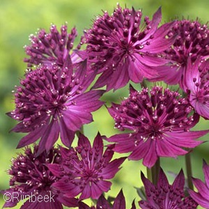 ASTRANTIA RED PROMISE