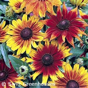 RUDBECKIA HIR AUTUMN COLORS